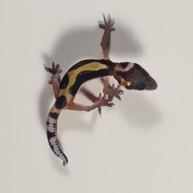 Leopardgecko abzugeben Lavender Stripe Nachzucht 2018