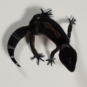 Leopardgecko abzugeben Black Night Nachzucht 2017