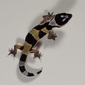 Leopardgecko abzugeben Wild type Nachzucht 2017