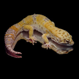 Leopardgecko 'Kennedy' Super Giant Extreme Emerine