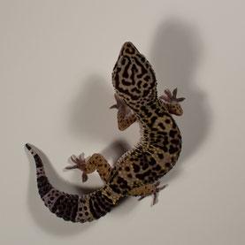 Leopardgecko abzugeben Black Night Nachzucht 2016