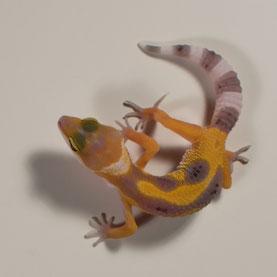 Leopardgecko abzugeben Super Hypo Tangerine Nachzucht 2017