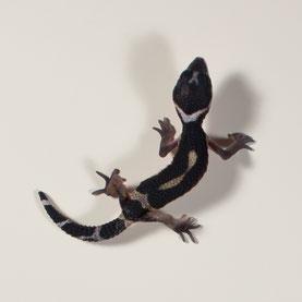Leopardgecko abzugeben Black Night Nachzucht 2018