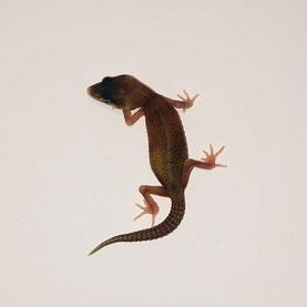 Leopardgecko abzugeben Rainbow Red Strip Nachzucht 2018