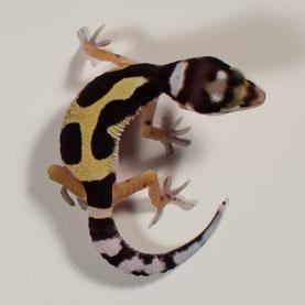 Leopardgecko abzugeben Jungle Bandit Nachzucht 2017