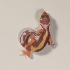 Leopardgecko abzugeben Tangerine Chocolate Albino Nachzucht 2018