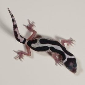 Leopardgecko abzugeben Striped Bandit Nachzucht 2017