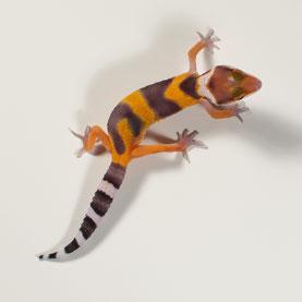 Leopardgecko abzugeben Tangerine Nachzucht 2018
