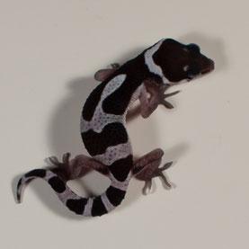 Leopardgecko 'Malaika' Line-bred Snow (Sunset Gecko Nachzucht 2016) Aufnahme: 11.9.2016