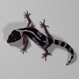 Leopardgecko 'Snow White' Line-bred Snow (Sunset Gecko Nachzucht 2016) Aufnahme: 9.7.2016