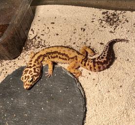 Leopardgecko abzugeben Rainbow Red Stripe Nachzucht 2018