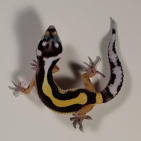 Leopardgecko 'Day' Jungle Bandit (Sunset Gecko Nachzucht 2016) Aufnahme: 22.10.2016