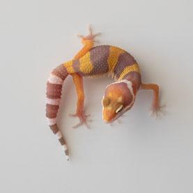 Leopardgecko abzugeben Tangerine Albino Nachzucht 2018