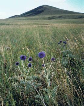シリーン・ボグド山 標高1778m。麓にアザミが咲き乱れていた(スフバートル県ダリガンガ郡)