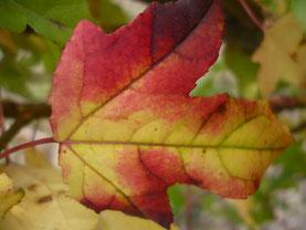 Bäume und Pflanzen im Herbst, Amberbaum Herbstfärbung