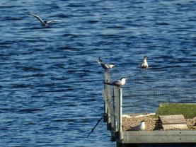 Flussseeschwalben auf dem Brutfloß. - Foto: Kathy Büscher