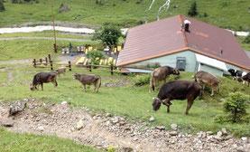 Alpen E5 Farm Kühe Holzgau