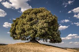 grosser Baum vor blauem Himmel - Balance  © Bethel Fath