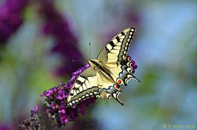 Schwalbenschwanz (Papilio machaon) auf Sommerflieder (Foto: P. Britz)