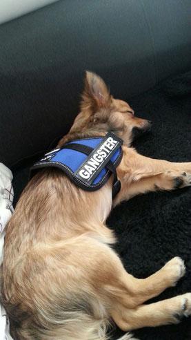 Balu von Kühnen Mutes schläft gerne auf dem Sofa