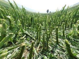 Agrar Drohne - Hagelschaden im Mais - Versicherung Schaden Beweissicherung