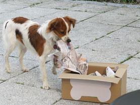 Unsere glatte Kromfohrländer Hündin Janne vom Strithorst lebt im Zwinger von der Seidenfeder. Hier hat sie 1. Geburtstag und packt ein Geschenk aus.