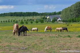 Ponys und Pferde auf der Koppel im Ostseebad Binz auf Rügen