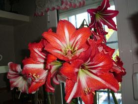 La flor, el dibujo y el color es igual que la Baby Star pero de tamaño más grande que la baby.