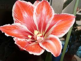 Este es H Razzle Dazzle, es muy bonito, predomina el rojo y los bordes son perfilados de blanco y ligeramente serrados.