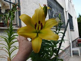 También florecen los Lillis.