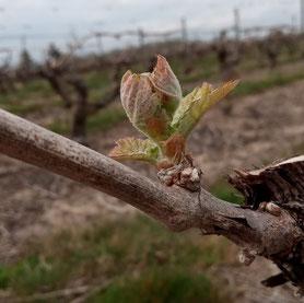 atelier-vigneron-travaux-dans-le-vignoble-ebourgeonnage-epamprage-Vouvray-Touraine-Rendez-Vous-dans-les-Vignes