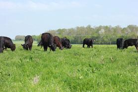 Angus vaches à viande boeuf