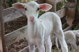 je donne le biberon aux agneaux si c'est possible