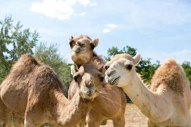 Einige Kamele zogen nach Ungarn in den Zoo Veszprém.