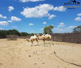 Auch in die neu geschaffene Sahara-Landschaft in Kroatien sind unsere Kamele eingezogen..