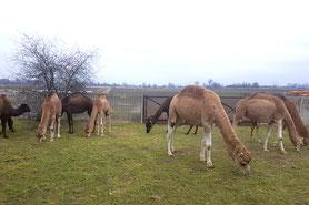 Ein ganzes Dutzend Dromedare lernt nun polnisch. Monika und Marcin melken als erster Betrieb in Polen ihre Kamele.
