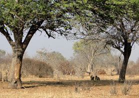 Baboons under a tree