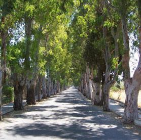 Eukalyptusallee nach Kolymbia
