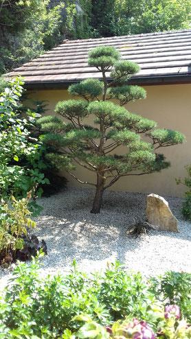 niwaki sur Pinus Sylvestris à Clairvaux-Les-Lacs, Jura (39), Franche-Comté
