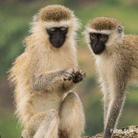 Schimpansen-Beobachtung in Uganda