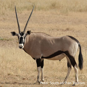 Oryx in Namibia