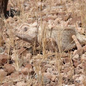 Chamäleon auf einer Camping-Safari in Namibia