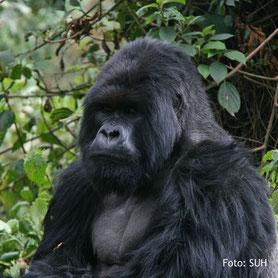 Berggorilla-Beobachtung in Uganda
