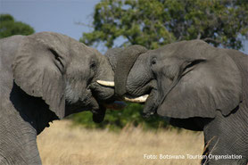 Botswana Lodgesafaris Tierbeobachtung Elefanten