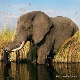 Luxuriöse Botswana Safaris - Tierbeobachtung Elefant