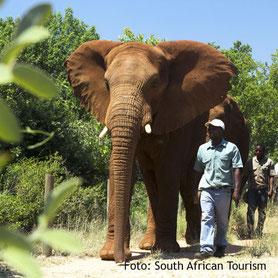 Elefant beim Ranger in einem Wildreservat, Südafrika
