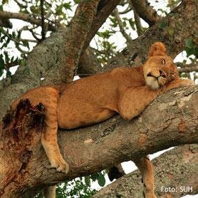 Eine Löwin auf Tierbeobachtung in Uganda