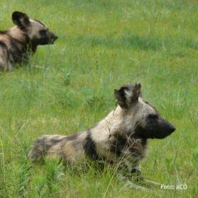 Wilde Hunde, auf Lodgesafari in Tanzania