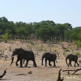 Zimbabwe Lodgesafaris Elefantenherden - Reise durch Zimbabwe