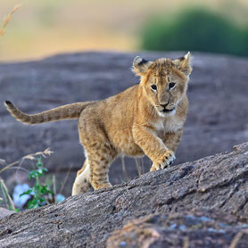 Ein kleiner Löwe auf einem Berg in Tansania